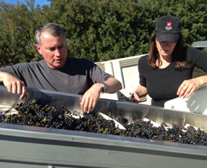 sorting cabernet sauvignon grapes