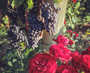 ripe grapes and flowers