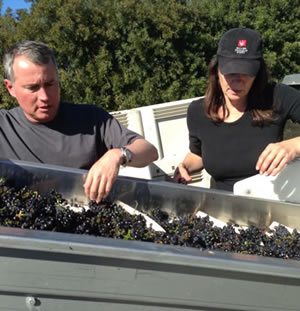 Sorting cabernet grapes at harvest